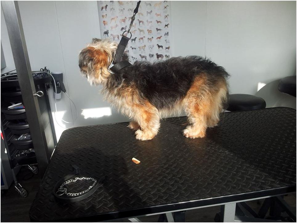 Before-Roos de kruizing Yorkshire Terrier