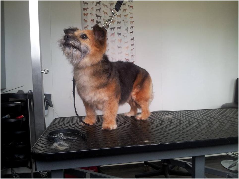 After-Roos de kruizing Yorkshire Terrier