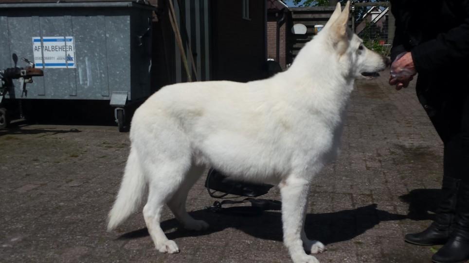 After-Wolf de Zwitserse witte herder